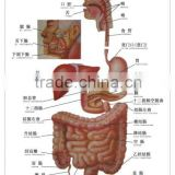 Artpaper Medical wall chart--digestive system