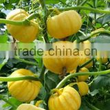 INquiry about Wholesale hybrid Mini pumpkin seeds For Growing-Rainbow