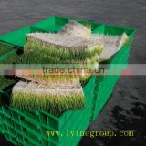 Maize growing system broccolis prouting machine/Green Maize Fodder Machine/Green Corn Fodder Machine