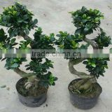 tropical bonsai tree sale s shape ficus pot