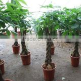 Pachira money tree plant nurseries with different types of shape