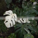Inquiry about Monstera deliciosa variegata Variegated Monstera