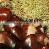 High quality Fresh chestnuts for sale