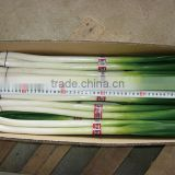 2016 new crop fresh scallions (fresh leek)