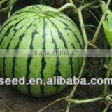 HW Chinese high resistance and hybrid watermelon seeds