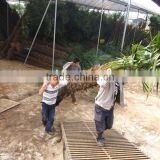 trachycarpus fortunei best quality loading