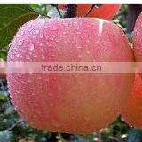 China Gansu delicious Gala Apple
