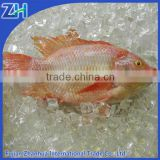 Fresh water fish frozen red tilapia fish farming