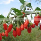 Chinese Matrimony vine Medlar fruit Barbary Wolfberry Fruit Fructus lycii Dried Goji berries Ningxia Dried Goji Berry