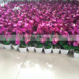 2015 Newest Small Stems Artificial Cattleya Orchid With White Plate Pot MH150108