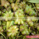 hebal plant poweder extract start anise oil
