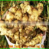 Professional Fresh Ginger Supplier Price Of Fresh Ginger In China Ginger Health Benifits