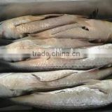 frozen grey mullet Fish Roe off fresh mugil cephalus