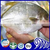 GRADE A Whole Round Frozen Golden/Black/silver Pomfret Fish Pomfret Fish
