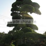 Japanese trees and plants podocarpus macrophyllus , maki , maple , momiji for garden accessories
