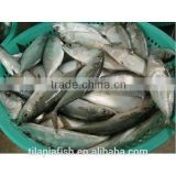 Frozen indian mackerel for sale