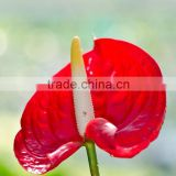 Decorative new coming crazy selling fresh cut flower anthurium