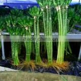 50cm lotus tiger lucky bamboo dracaena sanderiana indoor ornamental aquatic feng shui plants nursery garden decoration