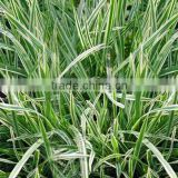 Natural Oat Grass Extract Powder/Avena sativa Extract/Oat Straw Extract Beta-Glucan 20% 70%