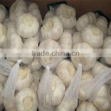 Brand new dried garlic powder with best price garlic oil bulk chinese solo garlic