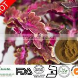 High quality Natural Coleus Forskohlii extract 20% Forskolin for Weight loss                                                                         Quality Choice