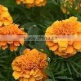Tagetes oil manufacturer.