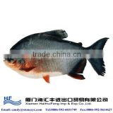 Frozen fresh red pacu fish for sale