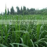 Pasture seeds Fodder grass seeds Sorghum sudan grass seeds for sale