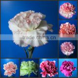 Kunming wide varieties exquisite real touch latex flower carnation blue fresh cut carnations