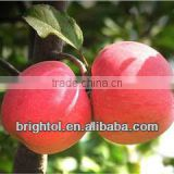 high quality Apple pectin extract powder with best price