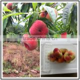 Chinese fresh flat peach