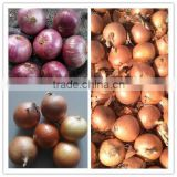 Fresh yellow onion & red onion for sale