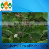 Top Quality Arctium Lappa Extract/edible burdock extract/Burdock Extract