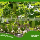 High Yield F1 Hybrid Bitter Gourd Seed - BABY 100