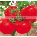 Super Good Heat & Humidity Tolerance Hybrid Big Giant Red Tomato Seeds For Sale-Sky Fortune 200