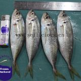 23cm+ Big Size BQF Frozen Horse Mackerel Seafood Fish Supplied