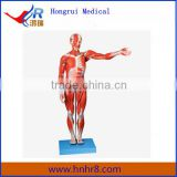 Full Body Male Muscles Anatomical Model