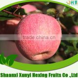 Red Color and Fresh Style fruits fresh fuji apple fruit for selling