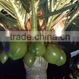 Coconut tree for indoor outdoor landscape project decoration artificial fake plastic coconut palm trees