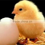 500 Chicken Egg Incubator Hatching Machine For Sale