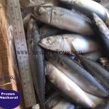 Frozen Mackerel Frozen Seafood for Sale