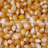 Yellow Corn Available....