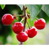 Instant Acerola Extract Juice Powder/ Spray Dried Acerola Powder/ High VC Content Fruit Powder