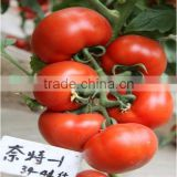 Hybrid TY Resistance Red Tomato Seeds For Sale Indeterminate Growth For Over Summering Or Late Autumn-Night No.1