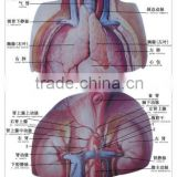 Artpaper Medical wall chart--thymus gland and adrenal gland