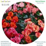 DwarfGiantFarm 3pcs a set On Top Mix Begonia Flower Bulbs dgf-pro-769
