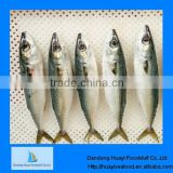 frozen mackerel fish food