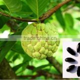 Indian Custard apple fruits tree seeds Annona squamosa Rajasthan Asia