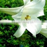 natural Lily Bulb Extract