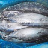 frozen whole round striped bonito tuna fish Sarda Orientalis